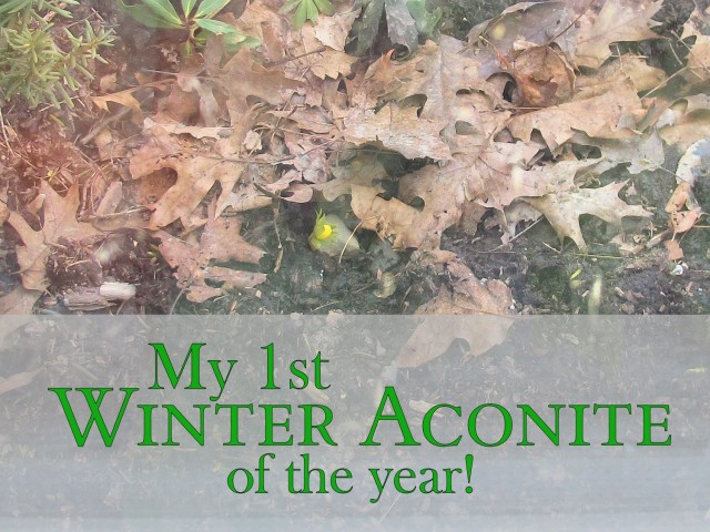 Winter aconite is a very early blooming bulb