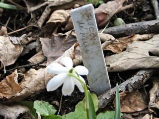 Galanthus nivalis 'Flocon de Neige'