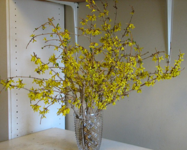 Forced forsythia in vase