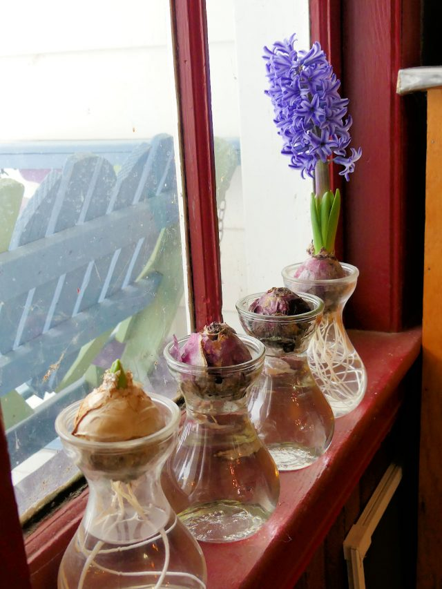 hyacinths forcing on a window sill