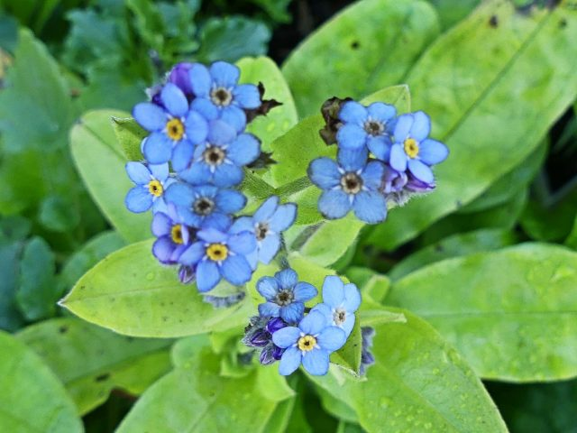 forget-me-nots in October