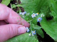 forget-me-nots featured image