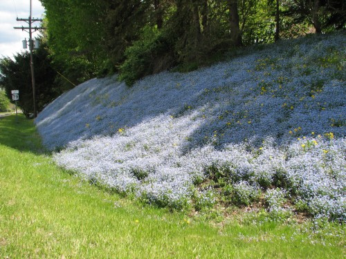 steep roadside bank covered in forget-me-nots