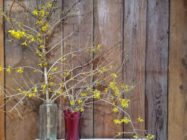 forsythia forced indoors