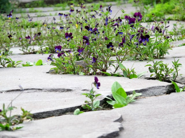 Violas in stone walk at coldclimategardening.com