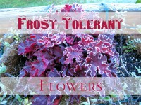 frost tolerant flowers feature image
