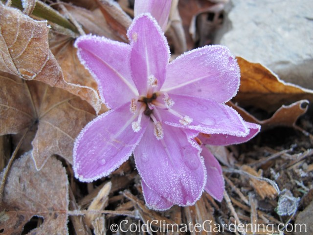 frosted colchicum