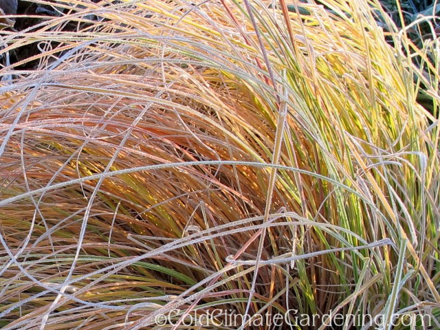 frost on ornamental grass