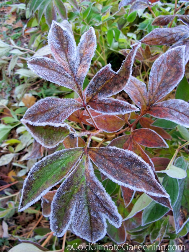 frosted peony leaves