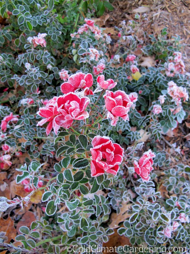 frosted roses and leaves