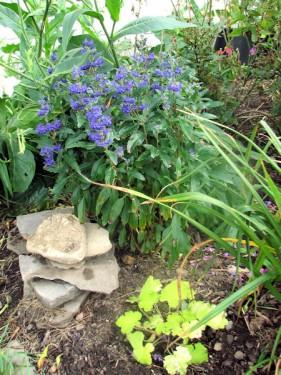 'Grand Bleu' caryopteris and 'Pistache' heuchera