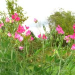 Sweet peas in September