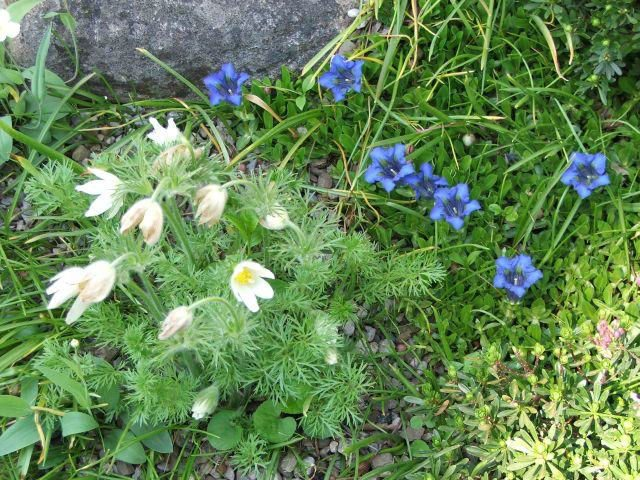 gentian and pulsatilla