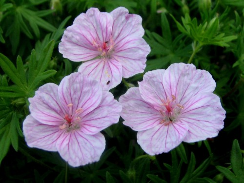 This plant is easy to take for granted, growing almost anywhere with little care, so I just wanted to give a shout out to Geranium sanguineum var. striatum.