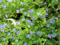 germander speedwell plant with tiny blue flowers