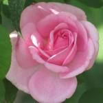 Gertrude Jekyll, a David Austin rose