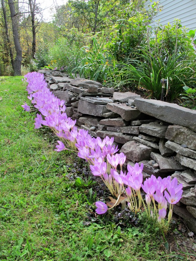 The Giant colchicum