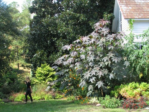 This castor bean plant at Montrose Gardens dwarfs the woman walking past, and is giving the two-story building a run for its money.