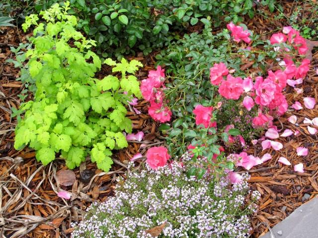 golden feverfew flower carpet pink supreme alyssum