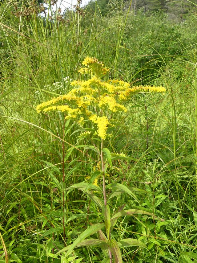 golden rod - Solidago sp.