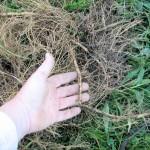Goldenrod rhizomes