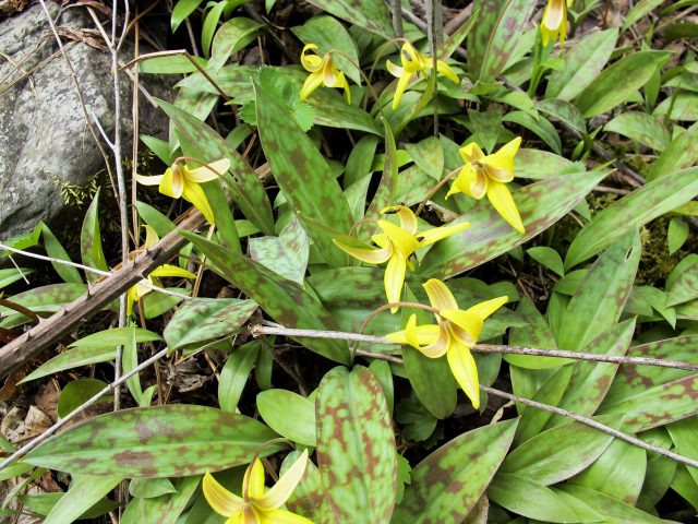 good blooming patch of trout lilies