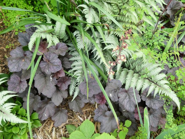 grape expectations heuchera Japanese painted fern