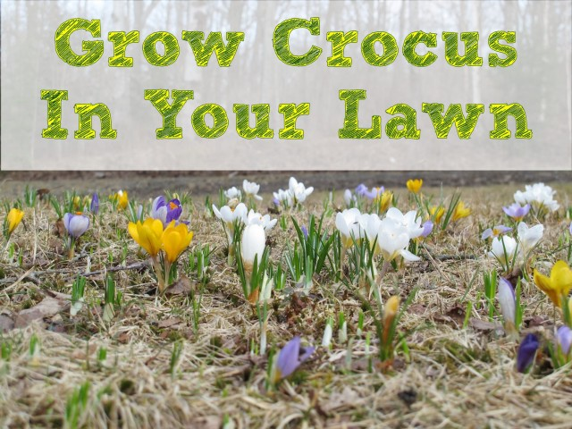 Grow crocus in your lawn