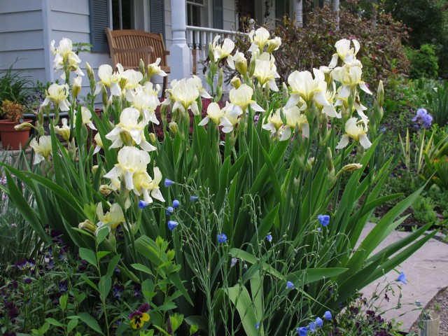 Iris 'Flavescens' is a yellow heirloom iris that is hardy and low maintenance.