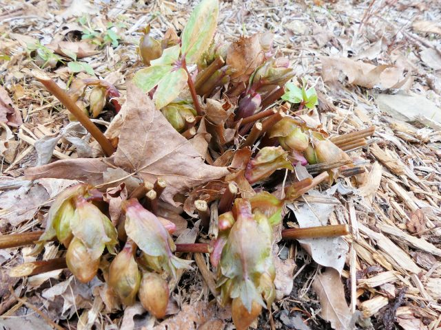 hellebore damaged by cold