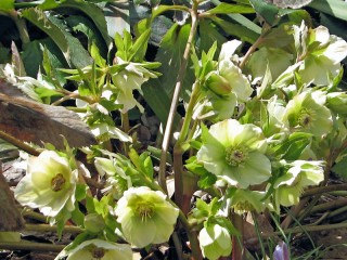 Cream colored hellebore from Hitch Lyman's garden
