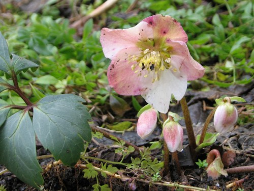 Thanksgiving blooming hellebore