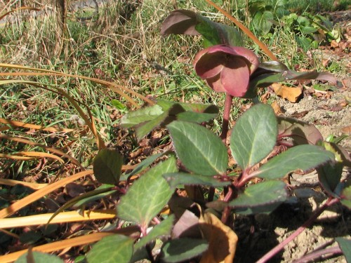 Pink Frost hellebore