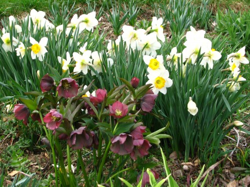 hellebores_daffodils
