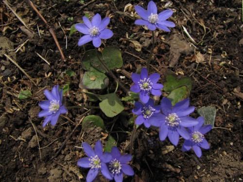 violet blue hepatica flowers