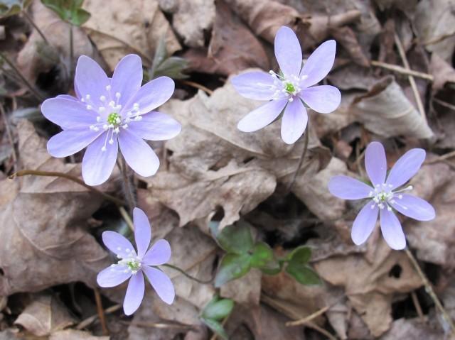 Hepatica acutiloba lavender liverwort