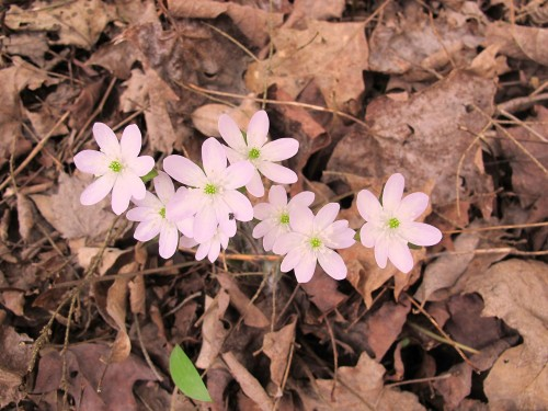 Hepatica acutiloba, pink-flowered liverwort