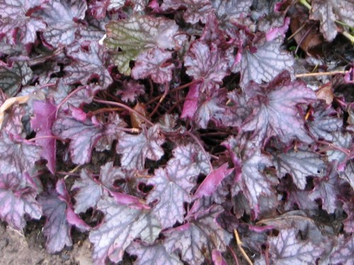 Dolce Blackcurrant heuchera