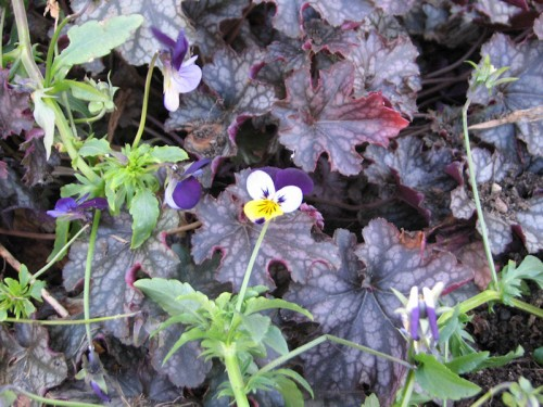 Both the Johnny-jump-ups and the heuchera seem to appreciate our mild fall weather.
