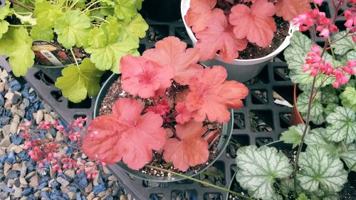 heucheras at Stony Hill Farm, Binghamton, NY