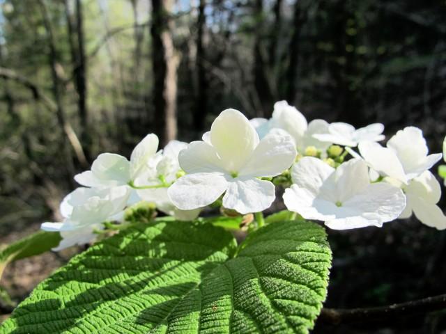 hobblebush flower and leaf