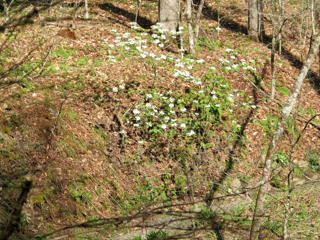 hobblebush on creek bank