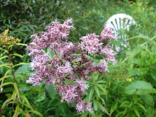 Hollow-stemmed Joe-Pye weed, Eupatorium fistulosum