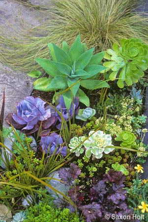 Tender succulents in annual border