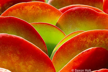 Kalanchoe thyrsiflora, tender succulent