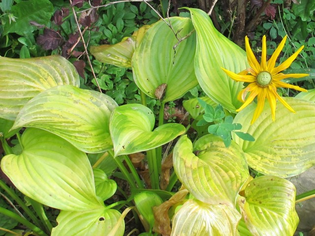 'Irish Eyes' rudbeckia and hosta
