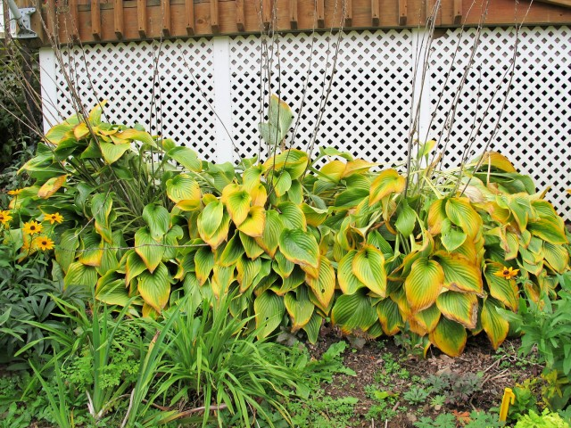 hostas with golden autumn color