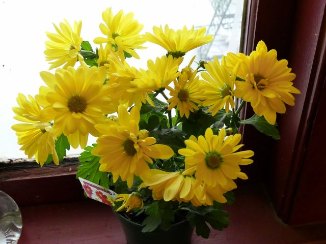 yellow daisy houseplant chrysanthemum