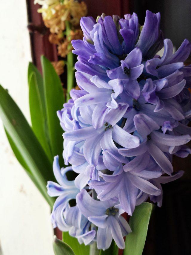 hyacinth bloom close up