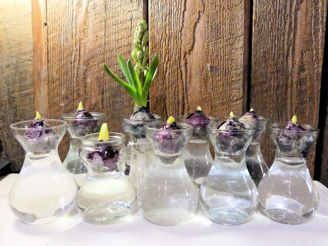 hyacinths on glass